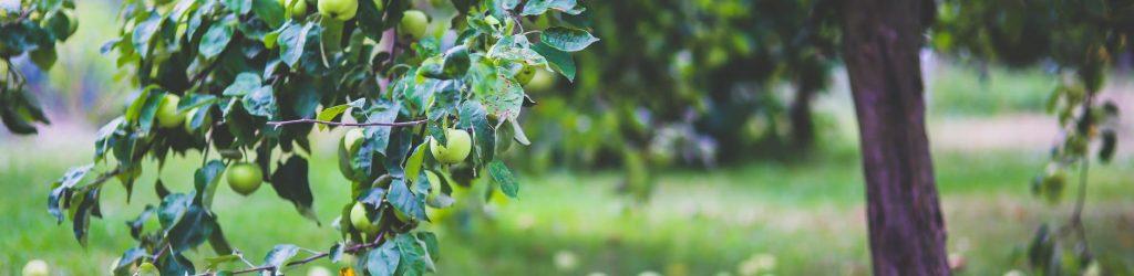 healthy-apple-summer-garden